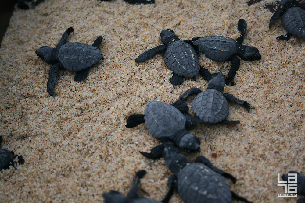 turtles in Cabo being released to the water