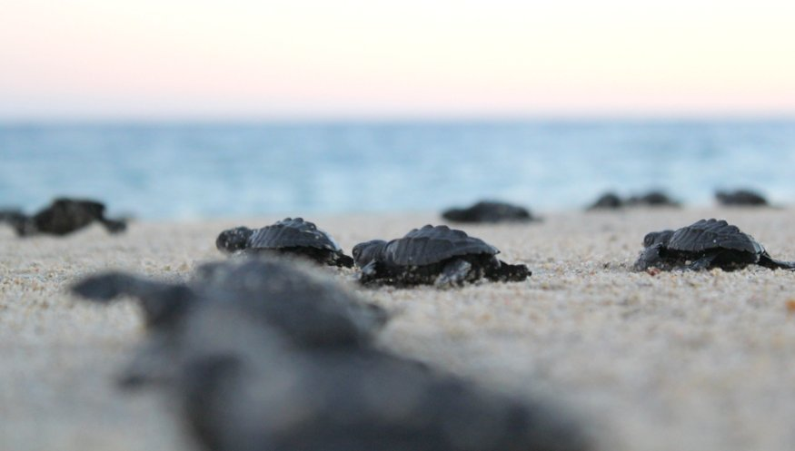 sea turtles in Cabo